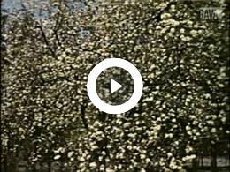Keyframe of Kersenbloesems