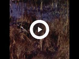 Keyframe of J.P. Loorij Diverse rietvogels op en rond het water