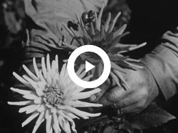 Keyframe of BLOEMEN IN NEDERLAND (amateuropname Hans Bartels zwart/wit)