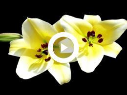 bloemen_lelies_3