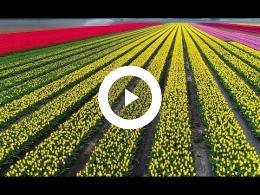 2017._drone_opnames_bloeiende_tulpenveld_van_uuldriks_hellum.