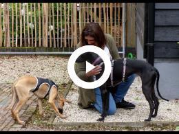 greyhounds_rescue_holland_haalt_honden_vanuit_spanje_naar_nederland_poortugaal_2020