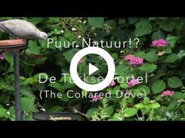 puur_natuur_de_turkse_tortel_the_collared_dove