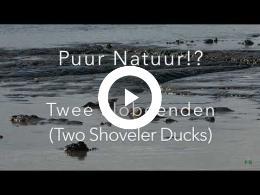 puur_natuur_twee_slobeenden_two_shoveler_ducks