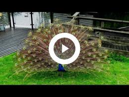 kinderboerderij_de_trotse_pauw_-_schapen_scheren_en_opening_honingpot_spijkenisse_2016