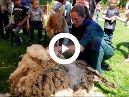 schapen_scheren_kinderboerderij_de_trotse_pauw_spijkenisse_2019