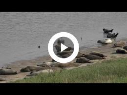 puur_natuur_zeehonden_seals