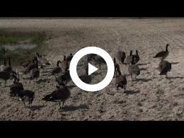puur_natuur_canadaganzen_canadian_geese