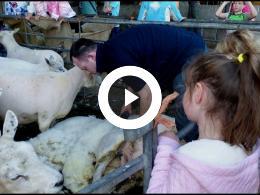 schapen_scheren_bij_melkveebedrijf_van_leeuwen_heenvliet_2019
