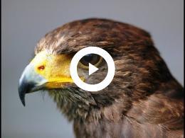 roofvogelshow_-_1_-_van_maaren_-_ruine_ravesteyn_heenvliet_2009