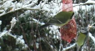 Cees de Ridder Koolmezen Pimpelmezen Sneeuw Winter